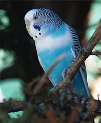 Budgerigar. (Shortshooter - Al) Tags: bird australian budgerigar naturesfinest superbmasterpiece beyondexcellence theunforgetablepictures beautifulworldchallenges