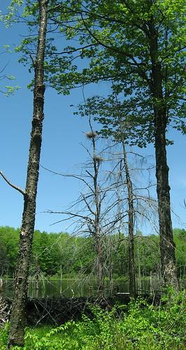 heron nests in dead tree