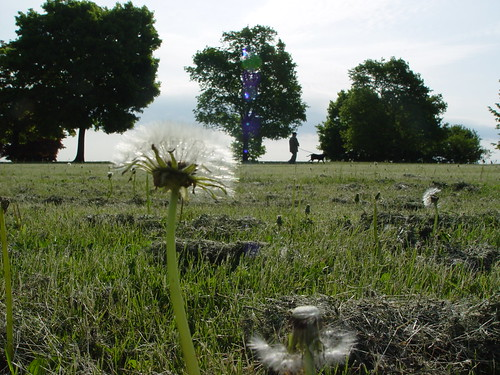 Dandelion(s) with distant dog