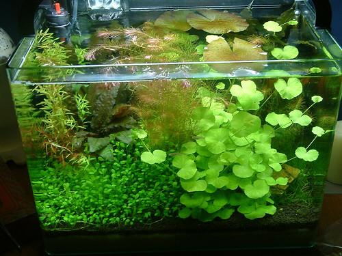 7 6 Gallon Rimless The Planted Tank Forum