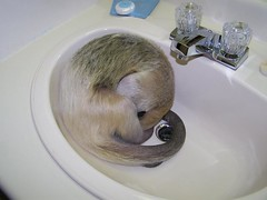 Pua naps in the sink