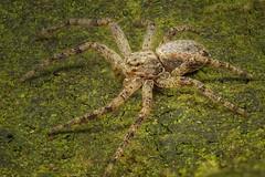 Laufspinne (Philodromus) (AchimOWL) Tags: postfocus spider panasonic lumix makro macro natur nature tier insekt animals insect spinne raynox dmcgx80 gx80 wildlife outdoor textur ngc macrodreams olympus