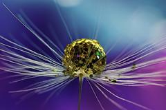 Dandelion wine (ASPphotographic) Tags: dandelionseed drop dandelionart golden water blue purple nikon pb6