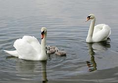 Mute Swan family (macfudge1UK) Tags: uk family bird water spring swan europe britain gb oxfordshire cygnets avian 2007 muteswan cygnusolor naturesfinest parkstock allrightsreserved anawesomeshot superbmasterpiece