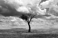 Surviving [ the ] Drama (| HD |) Tags: africa white black tree 20d nature monochrome grass silhouette clouds canon landscape dead kenya safari hd darwish hamad treee skyl treesubject ostrellina