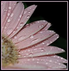 Petal Drops ~ - by **Mary**