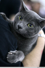 Russian Blue Cat IMG_1416.jpg (^hSirius) Tags: cats cat kitty catshow russianblue bestofcats diamondclassphotographer