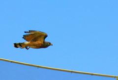 Ave de rapina (gavio) urbana / Bird of  robbery  urban (Boarin) Tags: natureza ave vo gavio carcar roadsidehawk rapina rupornismagnirostris gaviocarij