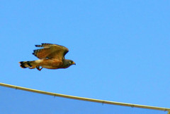 Ave de rapina (gavião) urbana / Bird of  robbery  urban (Boarin) Tags: natureza ave vôo gavião carcará roadsidehawk rapina rupornismagnirostris gaviãocarijó