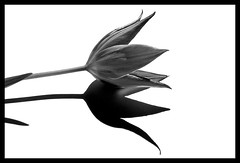 shadow (claudia hering (sundance)) Tags: shadow bw white black framed explore tulip sw wei schatten schwarz tulpe supershot i500 impressedbeauty superaplus aplusphoto superbmasterpiece beyondexcellence intrestgness62