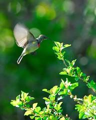 Bright wings (jeremyhughes) Tags: bird birds southafrica explore nikkor gardenroute knysna sunbird tc14eii jeremyhughes nikond200 300mmf4d doublecollaredsunbird