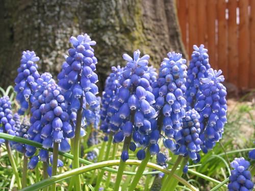g_hyacinth