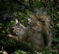 Mmmmmmmmm (mightyquinninwky) Tags: squirrel kentucky urbanwildlife lexingtonky frontyard fontaineroad chevychasearea