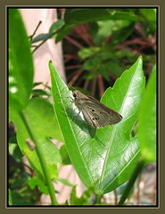A tropical greyish-brown butterfly, Suastus gremius gremius resting on a hibiscus leaf, shot April 19, 2007