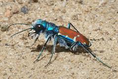 Cicindela splendida (splendid tiger beetle) view 4 (tigerbeatlefreak) Tags: blue red color nature beauty insect outdoors tiger beetle clay banks splendid invertebrate coleoptera loess