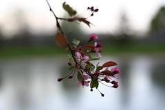 Bloom (Sij Pol) Tags: flower blurred blooms pow bdp krishlikesit