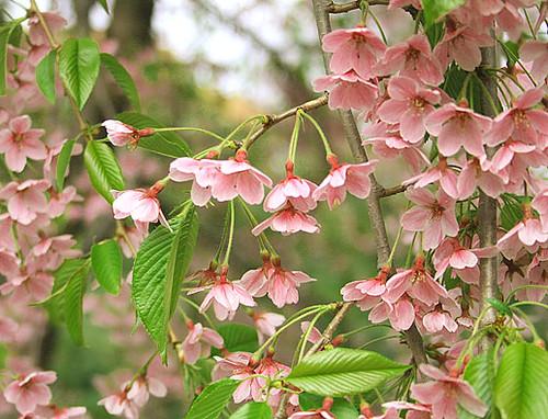 Cherry-Blossom-8