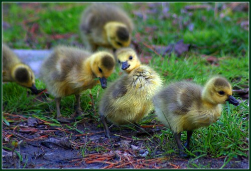 some cute chicks