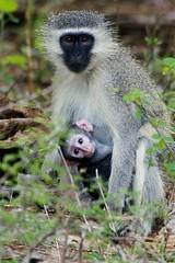Vervet monkey - by Arno & Louise