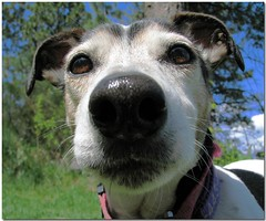 Amos is nosy! (Carplips) Tags: dog macro nature closeup canon nose jackrussellterrier canons2is