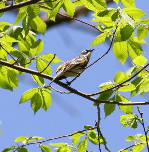 yellow-rumped warbler 03