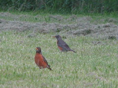 Robins enjoying our chemical-free lawn