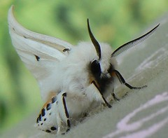 right-wing-waving white ermine