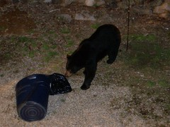 the BEAR!!! eating my garbage