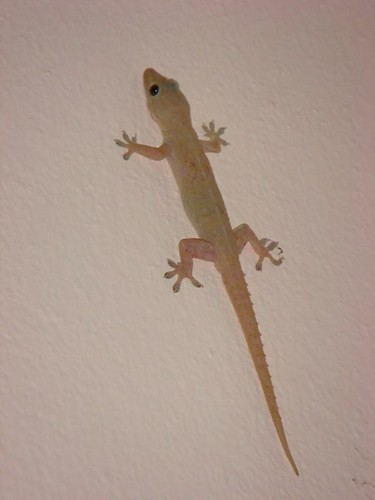 My room mate, the gecko.