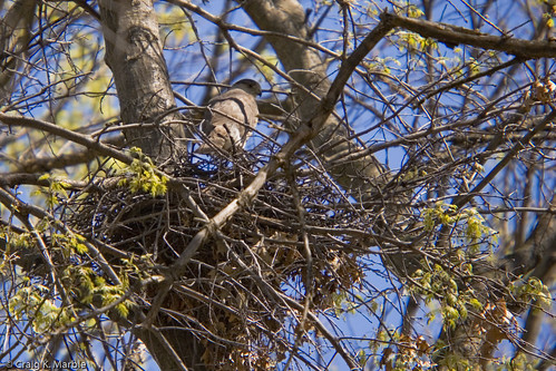 Sharp-shinned Hawk on Nest