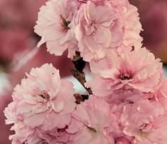 Cherry Blossom from Home (desbah) Tags: pink cherry spring blossom cherryblossom