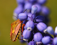 Pentatomidae - by t_buchtele