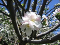 Flor de manzano I