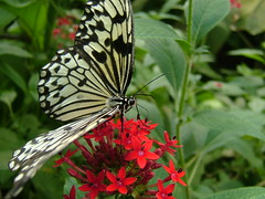 Black and White (MrG1963) Tags: butterfly sheffield butterflyhouse northanston