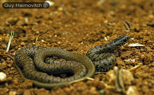 לוכד נחשים - Adult Black Whip Snake (Coluber jugularis) זעמן שחור