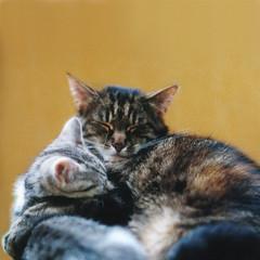 The embrace (moggierocket) Tags: cats cute film loving cat square paw