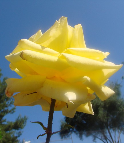 yellow rose against the sky