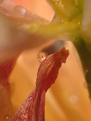 Friendly Alien (frazz46) Tags: macro reflection drops tulip waterdrops labyrinth soe naturesfinest blueribbonwinner supershot raynoxdcr250 mywinner abigfave colorphotoaward impressedbeauty pdpnw superbmasterpiece