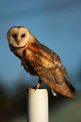 kauai barn owl