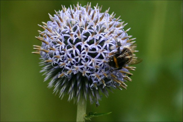 Blue Globe Thistle and Bee