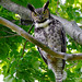 Great Horned Owl by Jim Sullivan