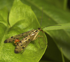 "Male Scorpion Fly (Panorpa germanica)(6) • <a style=""font-size:0.8em;"" href=""http://www.flickr.com/photos/57024565@N00/507686509/"" target=""_blank"">View on Flickr</a>"