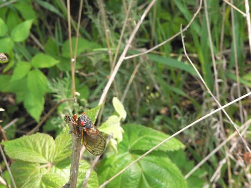 Brood XIII Cicada 2007