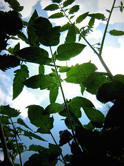 Tomato Plant Silhouette Sky Plant Green Silhouette