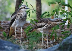 Bush Stone Curlew (Leonard John Matthews) Tags: 2 two nature birds stone bush australia brisbane creation queensland curlew mythoto challenge13pair enviornmnet