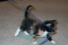 Tug o' war with a one-pound kitten