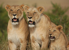 The Marsh Pride (Lyndon Firman) Tags: africa cub nikon kenya lion pride safari bbc mara d100 lioness naturesfinest blueribbonwinner masimara bigcatdiary bigcatweek impressedbeauty jalalspagesanimalkingdomalbum marshpride