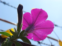flower (jk10976) Tags: pink flowers nepal sky flower asia excellent raj joshi kamal kathamndu naturesfinest oneofkind supershot flowerotica anawesomeshot aplusphoto wowiekazowie jk10976 excellentphotographerawards thatsclassy jkjk976