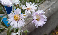 Frosty (sabrandt) Tags: samsung samsunggalaxy tablet flowers frozen ice frost winter
