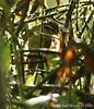 Three-striped Warbler (Michael Woodruff) Tags: foothills bird birds ecuador birding warbler 2007 basileuterus nwecuador milpe threestripedwarbler threestriped basileuterustristriatus milpebirdsanctuary
